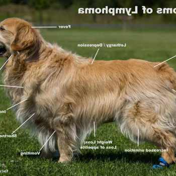 Golden Retriever And Cancer Symptoms