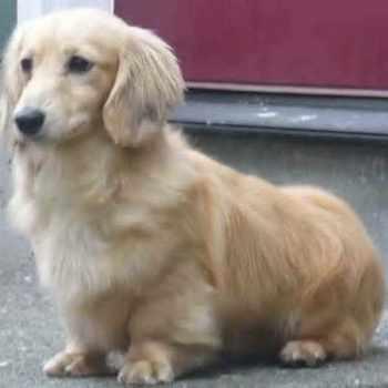 Golden Retriever Corgi Mix Puppies For Sale