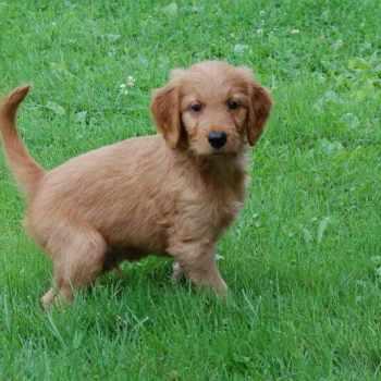 Golden Retriever Cross Poodle Puppies For Sale