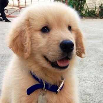 Golden Retriever Facts And Information