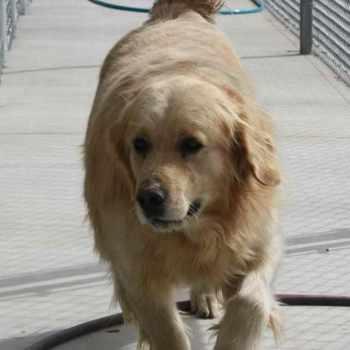 Golden Retriever Humane Society