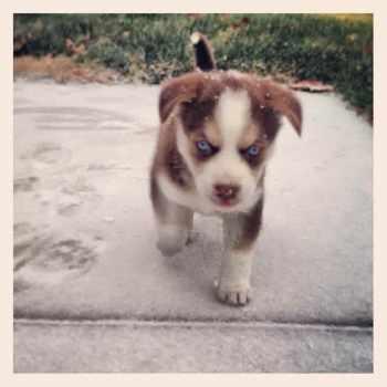 Golden Retriever Husky For Sale