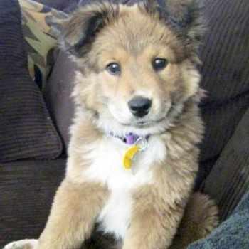 Golden Retriever Husky Puppies