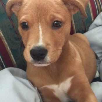 Golden Retriever Pitbull Mix Puppies For Sale