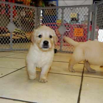 Golden Retriever Puppies Adoption Nc