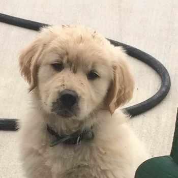 Golden Retriever Puppies Binghamton Ny