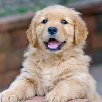 Golden Retriever Puppies Cincinnati