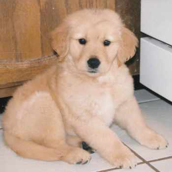 Golden Retriever Puppies Colorado