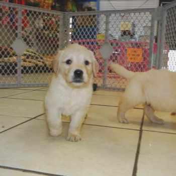 Golden Retriever Puppies Craigslist