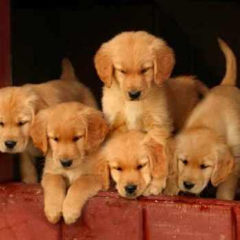 Golden Retriever Puppies Ct