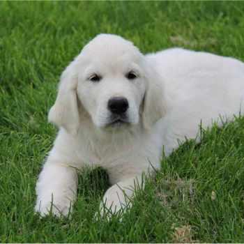 Golden Retriever Puppies Dayton Ohio