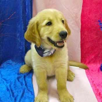 Golden Retriever Puppies Florida