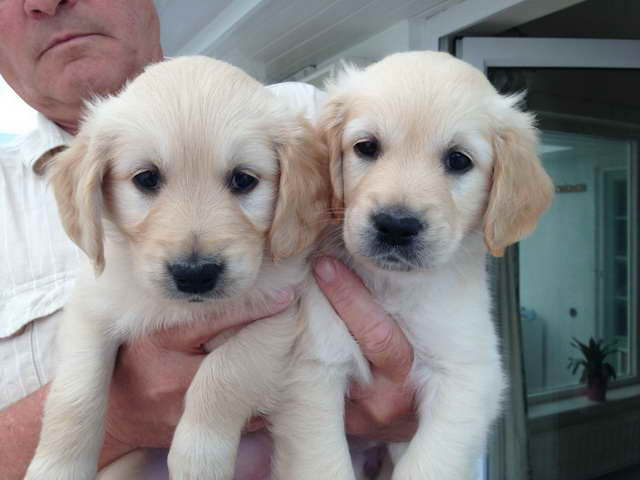 Golden Retriever Puppies For Adoption For Free