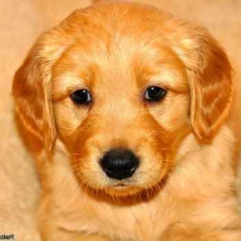 Golden Retriever Puppies For Adoption In Iowa