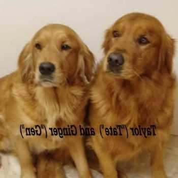 Golden Retriever Puppies For Sale Colorado
