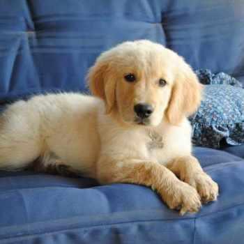 Golden Retriever Puppies For Sale In Bakersfield Ca