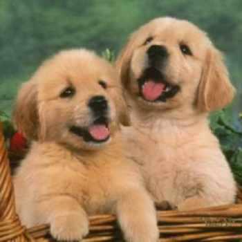 Golden Retriever Puppies For Sale In Illinois