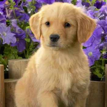 Golden Retriever Puppies For Sale In Ohio
