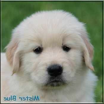 Golden Retriever Puppies For Sale Knoxville Tn