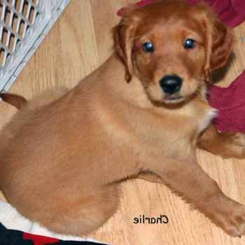 Golden Retriever Puppies For Sale Madison Wi