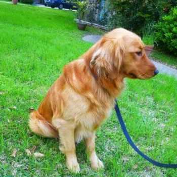 Golden Retriever Puppies For Sale San Antonio