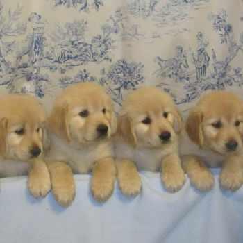 Golden Retriever Puppies In Nc
