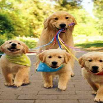 Golden Retriever Puppies Info