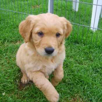 Golden Retriever Puppies Kansas City