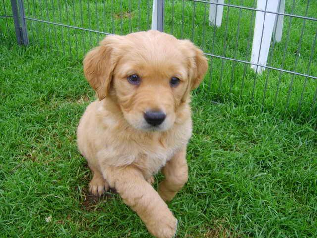 Golden Retriever Puppies Kansas