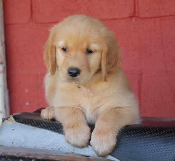 Golden Retriever Puppies Ky