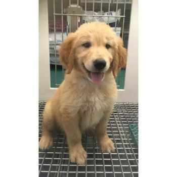 Golden Retriever Puppies Las Vegas Nv