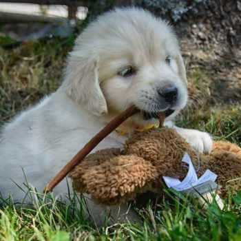 Golden Retriever Puppies Maine Adoption