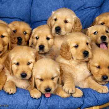 Golden Retriever Puppies Maryland
