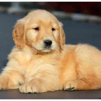 Golden Retriever Puppies Midwest