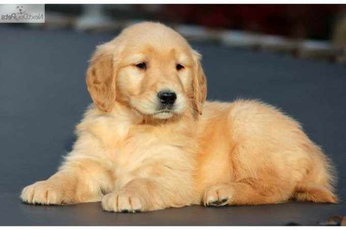 Golden Retriever Puppies Midwest