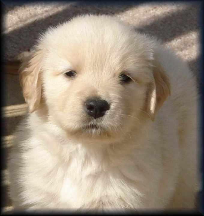 Golden Retriever Puppies Nashville Tn