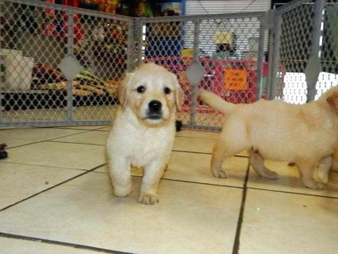 Golden Retriever Puppies Nc Craigslist