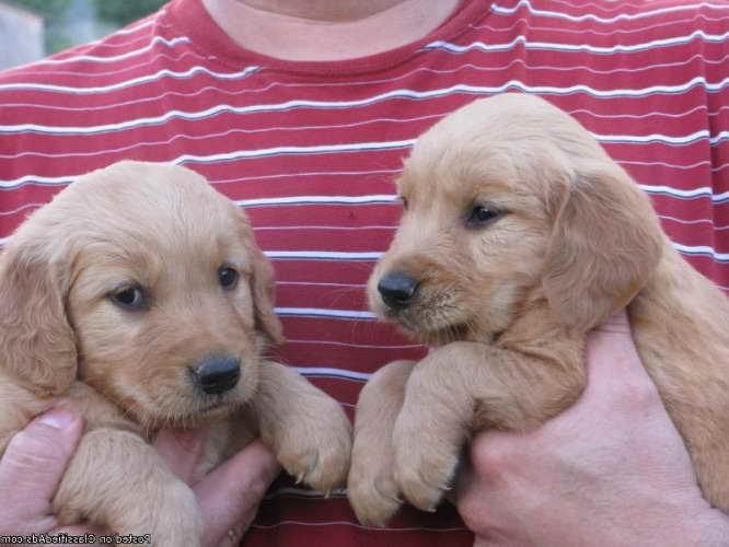 Golden Retriever Puppies Nevada