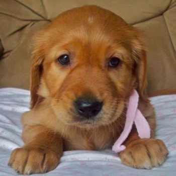 Golden Retriever Puppies Orange County