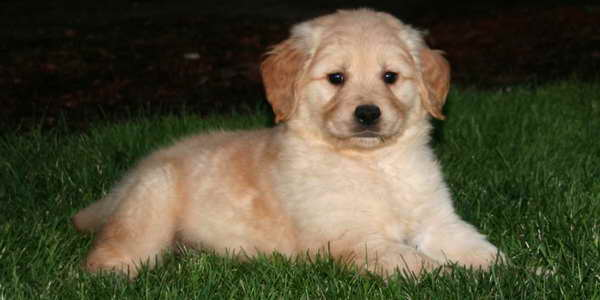 Golden Retriever Puppies Oregon