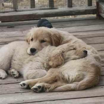 Golden Retriever Puppies Pennsylvania