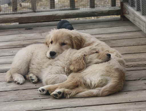 Golden Retriever Puppies Pennsylvania