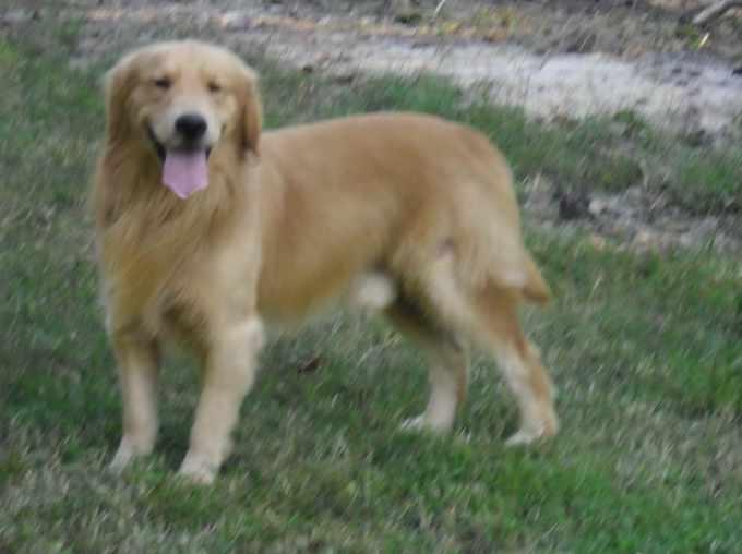 Golden Retriever Puppies Raleigh Nc