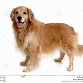 Golden Retriever Puppies Roanoke Va