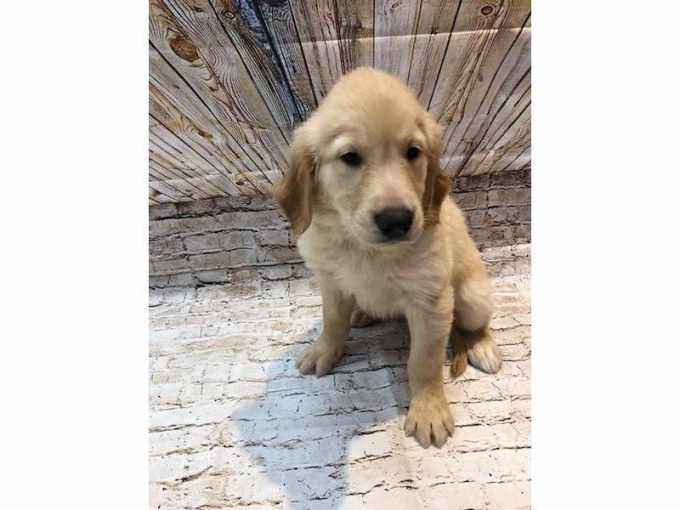 Golden Retriever Puppies Rockford Il