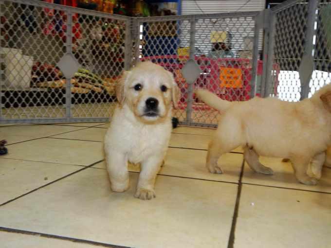 Golden Retriever Puppies San Luis Obispo