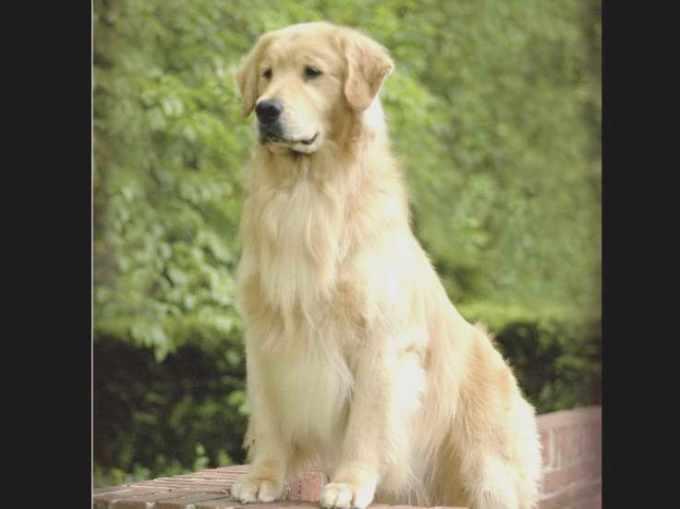 Golden Retriever Puppies South Jersey
