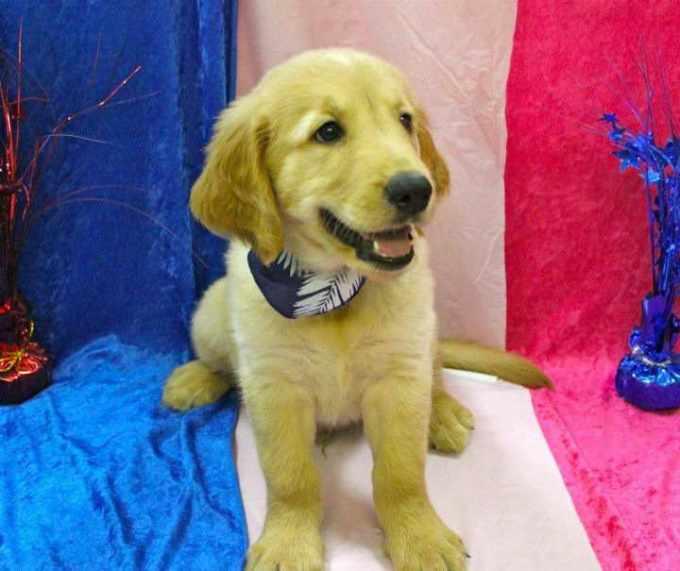 Golden Retriever Puppies Tampa