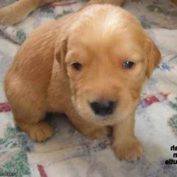 Golden Retriever Puppies Under 500 Dollars