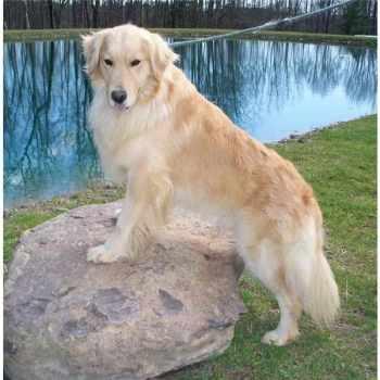 Golden Retriever Puppies Upstate Ny